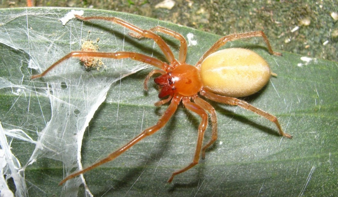 В Волгодонске обнаружен новый для города вид ядовитых пауков