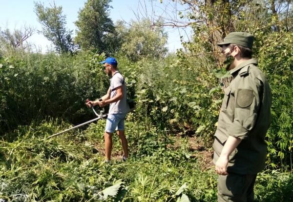 В Волгодонске ликвидировали 150 квадратных метров дикой конопли